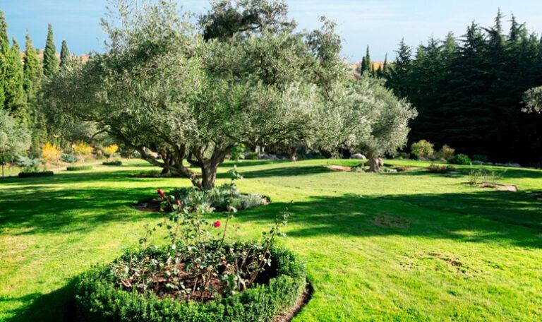 ¿Quieres un olivo en el jardín?