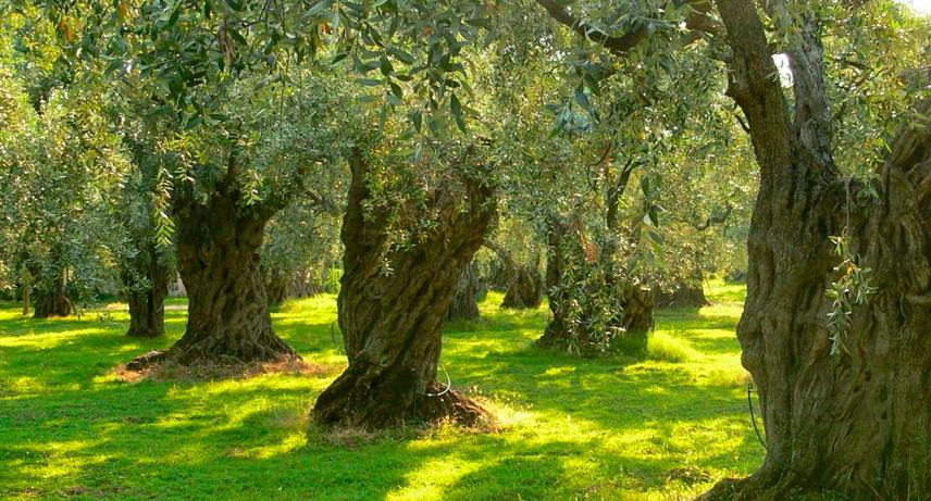 mantenimiento del olivo