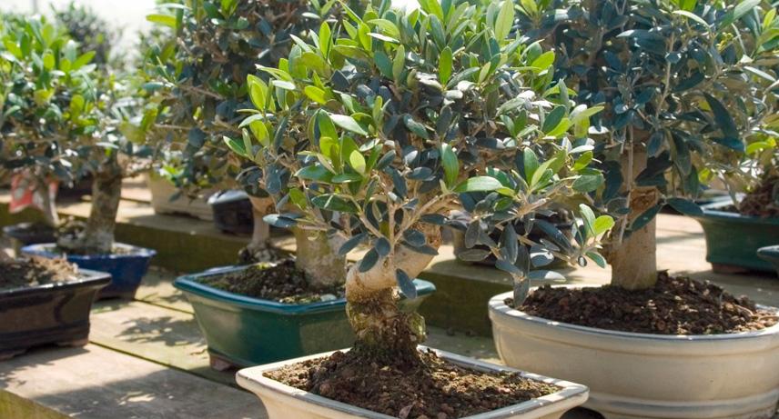 regalar planta de olivo