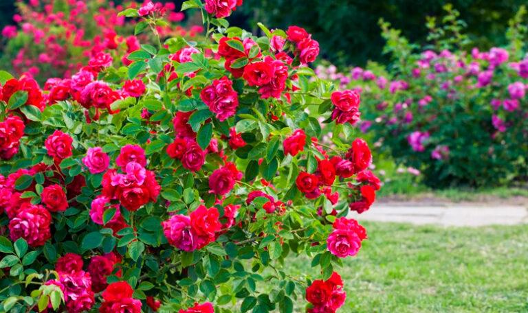Arbustos, trepadoras y árboles de floración estival