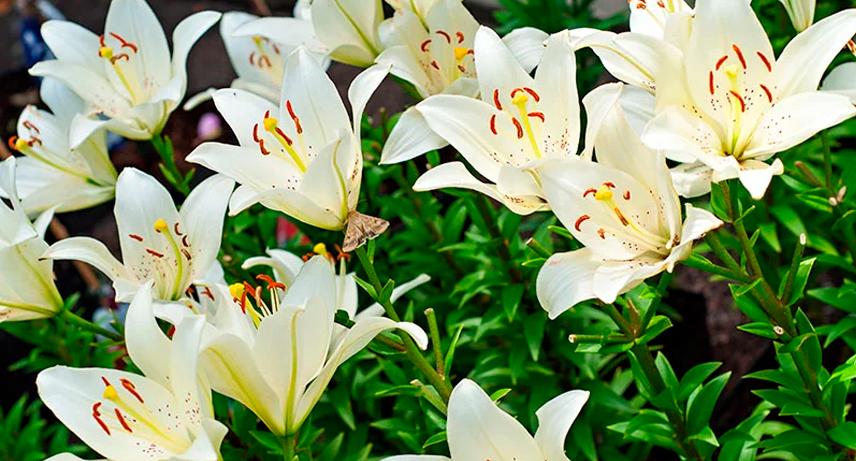 Plantas bulbosas y tuberosas de verano
